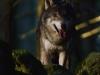 Varg i morgonljuset. © Daniel Hasselberg / IBL bildbyrå